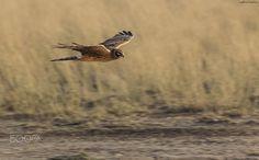 Pallid harrier ( L: Circus macrourus / N: Steppehauk )