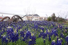 Bluebonnets!  Alpine TX., across the street from the Ramada Express on US 90 where we always stay.