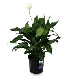 Indoor air pollution is a big concern and the air you breathe isn't always as clean as you think it is. Rubber Plant, House Plant Care, Peace Lily, Interior Plants, Plant Needs, Houseplants, Container Gardening, Natural Light, Indoor Plants