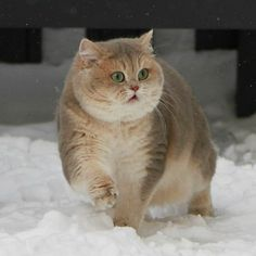 British Shorthair, Cute Cats, Cute Animals, Take That, Snow, Pictures, Image, Instagram, Pretty Cats