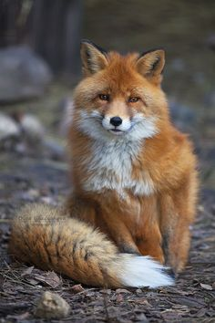 The Wise Eyes of a Red Fox / forest animals / animal photography photos Nature Animals, Animals And Pets, Baby Animals, Funny Animals, Cute Animals, Pretty Animals, Animals Images, Forest Animals, Woodland Animals