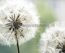 Dandelions still fotobehang FTN XXL 0477 Bloemen - Planten AG Design