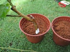 Growing mulberry plants from cuttings Mulberry Plant, Mulberry Bush, Mulberry Tree, Garden Projects, Garden Ideas, Grafting Plants, Plant Cuttings, Fruit Trees, Berries