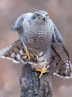 a wild male northern goshawk I shot today. Love these raptors. You have got to love nature and its creations. Animals Images, Zoo Animals, Animals And Pets, Pretty Birds, Beautiful Birds, Animals Beautiful, Northern Goshawk, Raven Bird, Birds Of Prey