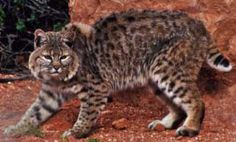 Coastal Red Bobcat
