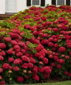 Red Sensation Hydrangea - This striking tree blooms every late spring and produces flowers for more than three months. Its diminutive size makes it perfect for small yards, container planting or foundations, while its hardy nature ensures it will be at-home in almost any location or climate in the United States.
