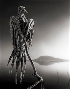 Calcified Caped Dove, Lake Natron, 2010