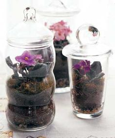 Miniature African violets grown in terrariums!