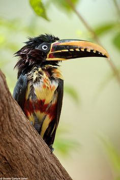 The Chestnut-eared Aracari (Pteroglossus castanotis) is a member of the toucan/aracari family, and makes its home in Central and south-eastern South America. info via Wikipedia