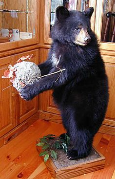 Black and Brown Bear Head Mounts for Sale : Bills Bear Rugs and Taxidermy