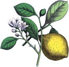 Antique Botanical Lemon Image. So pretty!