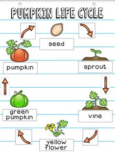 anchor chart and interactive notebook pages together in one kit  pumpkin  life cycle  first