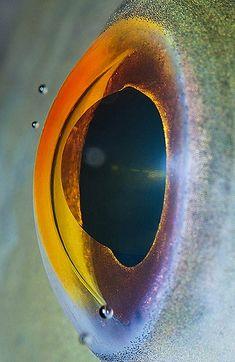"""Eyes Up Close Macro shot of a fish eye. Makes you understand the """"fish eye lens!Macro shot of a fish eye. Makes you understand the """"fish eye lens! Eye Close Up, Extreme Close Up, Fotografia Macro, Especie Animal, Macro And Micro, Macro Shots, Human Eye, Close Up Photos, Natural World"""