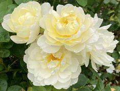 """Katie on Twitter: """"'Imogen' #rose @DAustinRoses… """""""
