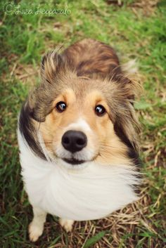 Simply Canine : IMG_7990 by joutavaa// Shetland Sheepdog