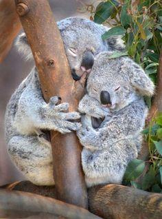 Sleeping Koala beauties (by Stinkersmell) Cute Creatures, Beautiful Creatures, Animals Beautiful, Cute Baby Animals, Animals And Pets, Funny Animals, Wild Animals, The Wombats, Cat Dog