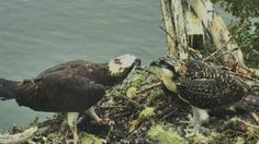 Watch live video of the Audubon Osprey nest in Hog Island, Maine. Observe and learn about these magnificent creatures with the Osprey bird cam. Rachel feeding Bailey  July 24, 2017