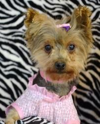 86 Best Adoptable Yorkies images in 2016 | Yorkshire