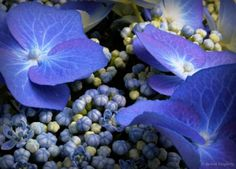elinka:    Blue Hydrangeas  by Richard Daugherty