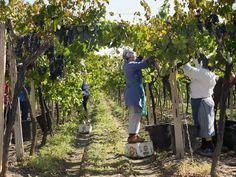 Puglia Itria Valley Locorotondo Vineyards -Italy's secret 'slave' labourers