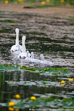 Trumpeter Swan family swim in pond, Copper River Delta, Chugach National Forest, Alaska