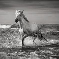 Stallion, Camargue
