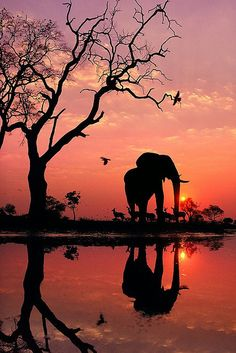 Wildlife image of an elephants silhouette captured during an African Sunset.