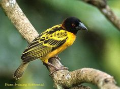 The Village Weaver is the most common weaver in Ghana.