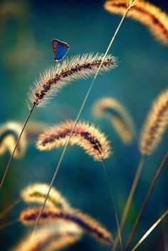 ~~Peaceful Light | a butterfly atop autumn grasses | by chibitomu~~