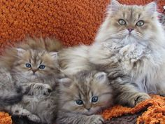 my little Cashmere on the left ... with brother and mama :)