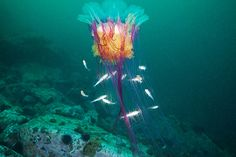 Lion's Mane Jellyfish (Cyanea capillata) ©Alexander Semenov via Artflakes Underwater Creatures, Underwater Life, Ocean Creatures, Underwater Photos, Underwater Animals, Under The Water, Under The Sea, Medusa, Beautiful Creatures