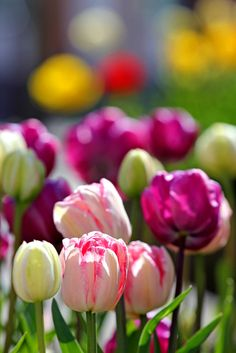 Lovely tulip mix/Pia