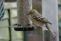 Chaffinch Photograph  - Chaffinch Fine Art Print A chaffinch on the garden bird-feeder.