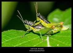 #nature #naturephotography #fotografiadenatureza #natureza #vidaselvagem #wildlife #biodiversity #biodiversidade #rainforest #mataatlantica #inseto #insect #bug #Orthoptera #caelifera #gafanhoto #grasshopper #BioCenas #RioDeJaneiro #RJ #ArturMoes #arturmoesphotography