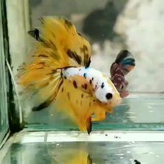 Koi Betta, Betta Aquarium, Betta Fish Tank, Beta Fish, Freshwater Aquarium Fish, Betta Fish Bowl, Fish Tanks, Beautiful Fish, Animals Beautiful