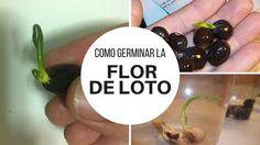 Como germinar la flor de loto / EcoInventos.com