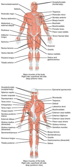 muscles of the human body diagram | get familiar with your body s,