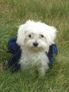 """The French have a term for it. Bichon frise means """"curly lap dog,"""" and that pretty much sums up this adorable white bundle of cute canine. Bichons are true companion dogs. Your bichon wants to be with you 24/7, so only consider purchasing a puppy if you have the time."""