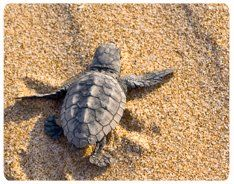 The sea turtles go back year after year to North Cyprus to lay their eggs.