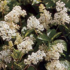 New Jersey tea - Ceanothus americanus