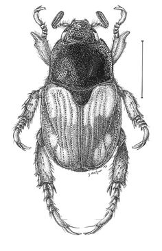 Strigoderma.pygmaea.jpg (385×600)