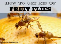 How To Get Rid Of Fruit Flies Fast