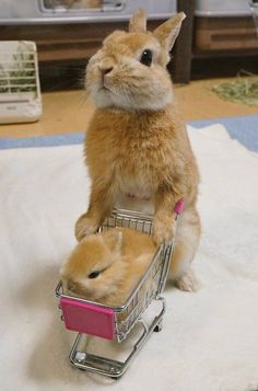 ♥ Small Pets ♥ Bunny & baby bunny go shopping Don't you just love shopping for small animal products? It's such fun finding just the right habitat, cage or hutch for your pet rabbits, hedgehogs, hamsters or guinea pigs. And who doesn't love to watch… Cute Baby Bunnies, Baby Animals Super Cute, Cute Little Animals, Cute Funny Animals, Cute Babies, Big Bunny, Funny Bunnies, Cute Animal Humor, Adorable Bunnies