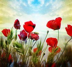 poppies dance (jesuscm) Tags: flowers red 2 sky flores verde green grass rojo nikon  textures cielo poppies texturas hierba amapolas idream specialtouch theunforgettablepictures platinumheartaward jesuscm joessistah bestcapturesaoi magicunicornverybest magicunicornmasterpiece