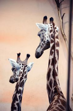 Giraffes © Koisny