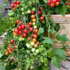 Tomato Lizzano F1 Seeds 8 Seeds