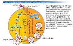 Signal transduction mechanism of mast cell degranulation