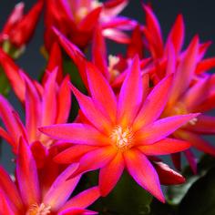 Рипсалидопсис (Rhipsalidopsis) - давно знакомый всем влаголюбивый кактус родом из тропических лесов Центральной и Южной Америки. В естественных условиях эти епифитные представители семейства кактусовых растут на деревьях, купаются в теплых дождях, и, в отличие от своих колючих родичей из пустыни, любят влагу.