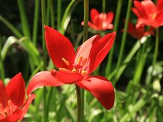 Tulipa sprengeri is a bulbous perennial with glossy, bright green leaves and solitary, goblet-shaped, bright red flowers...