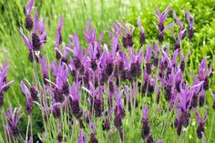 Save Your Property by Growing These Fire-Resistant Plants: Lavender